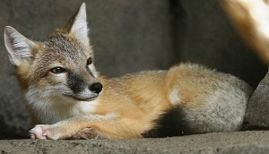 Foxes are intelligent, plucky, persevering and humorous creatures. (Photo: Wikimedia Commons, by CBurnett)